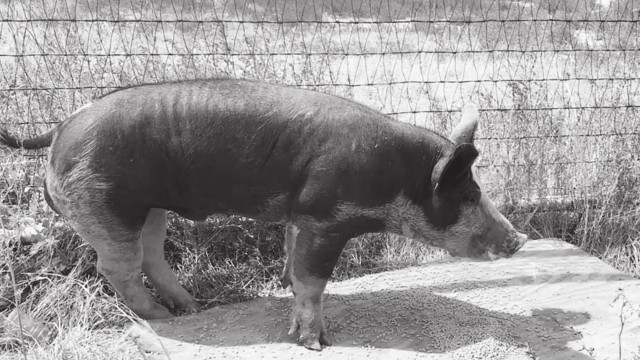 Commissioners round up loose pig possibly belonging to youth exhibitor